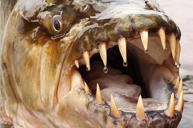 рыба бояра где водится или