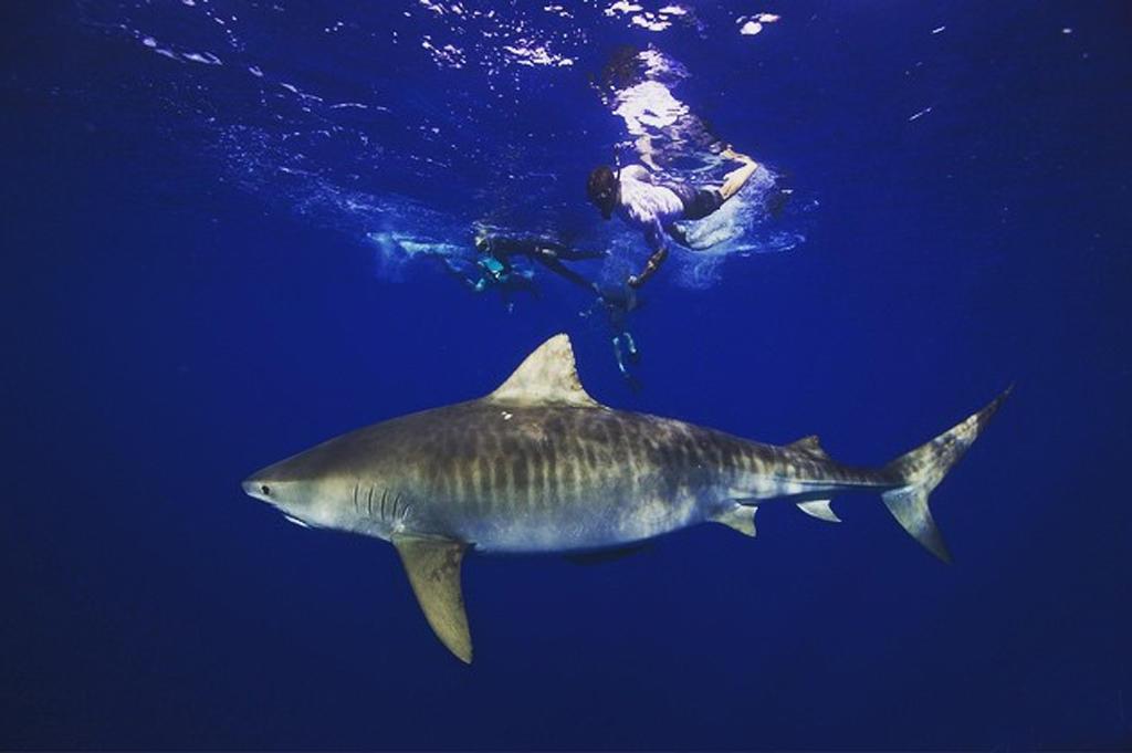 efron_shark
