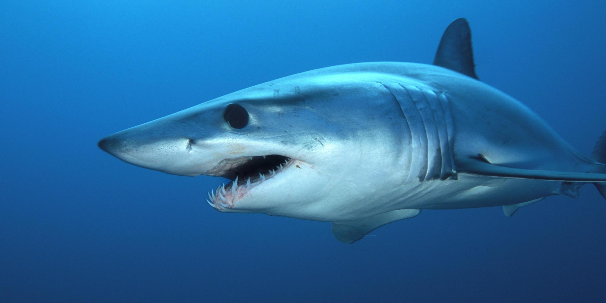 A 300 lb. 8-foot female Short-fin Mako Shark (Isurus oxyrinchus) off the coast of San Diego, California, USA.