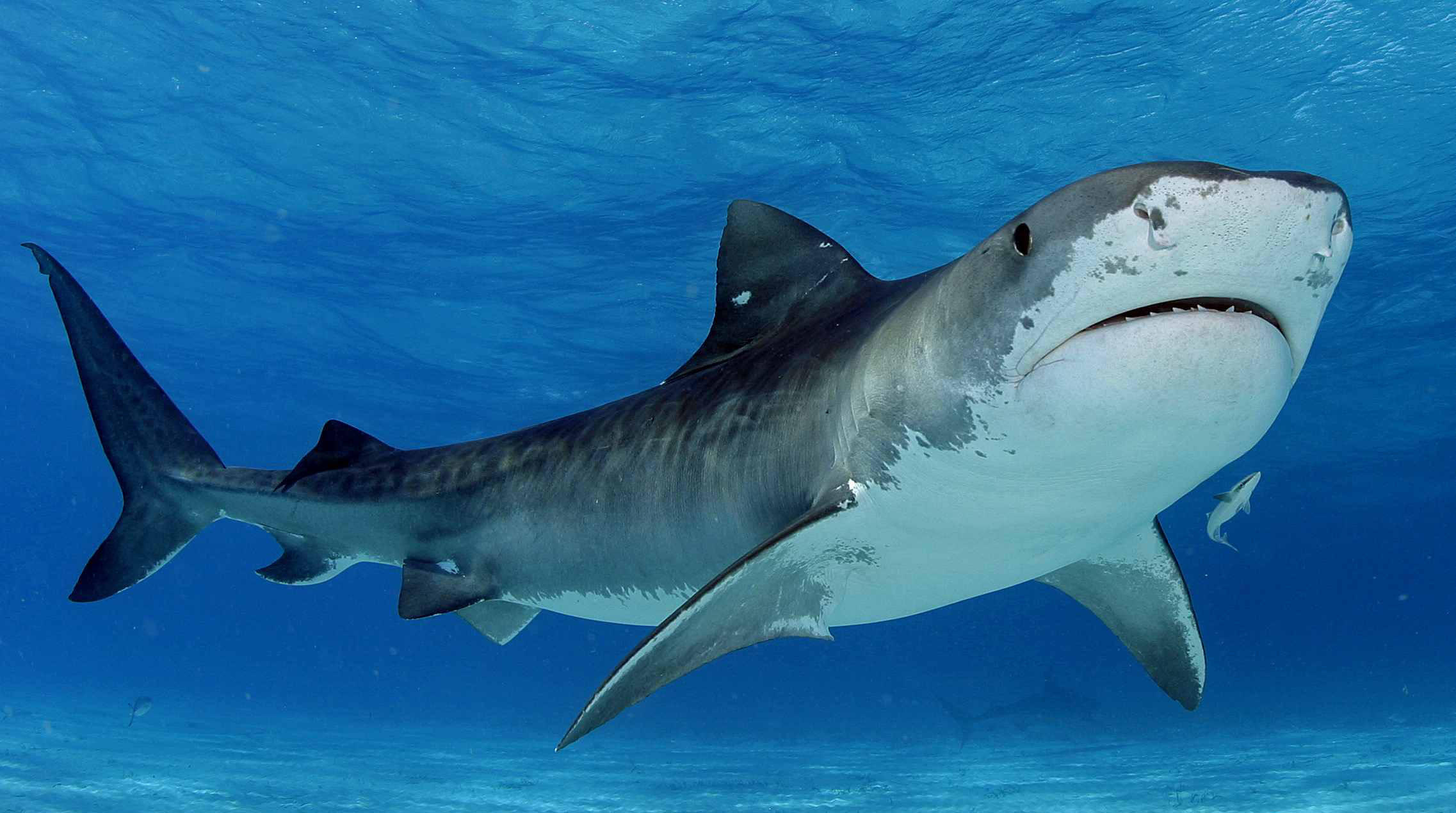 shark_11