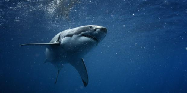 http-%2F%2Fhss-prod.hss.aol.com%2Fhss%2Fstorage%2Fmidas%2Fe32973b8d900bfae06441926d98aeab1%2F203908629%2Fstock-photo-great-white-shark-underwater-photo-in-open-water-239247520