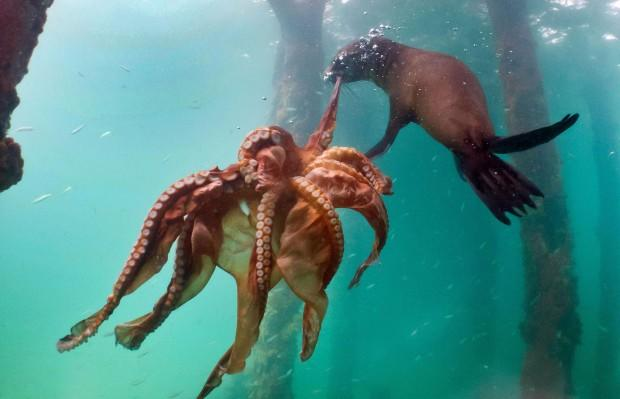 the-seal-taking-on-the-octopus_www.pixanews-2