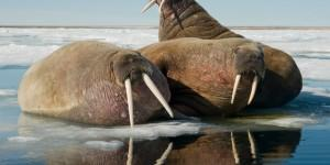 Bull Walruses Pictured Underwater...***EXCLUSIVE***  SVALBARD, NORWAY - UNDATED: Bull walruses, Odobenus rosmarus, rest on an ice floating along the northern coast of Spitsbergen and the Svalbard Archipelago in Svalbard, Norway.  WITHIN A whisker of one and a half ton giant walruses - this photographer had a NOSE for trouble. But luckily for him these 11-foot-long blubber filled sea beasts were in a good mood so there was a FAT chance the curious nature snapper would be mauled, even though at times he was just one foot-way from their powerful jaws and sharp tusks. The pictures by New York wildlife photographer, Steve Kazlowski, 42, show the complete Arctic summer day for these creatures  from lazing on the ice to swimming gracefully underwater. For Steve, who travelled to Svalbard in Norway to take these pictures, the most exciting part of his work was noticing how different the mighty walruses behaved on land and in the sea. For more information visit www.lefteyepro.com.  PHOTOGRAPH BY Stephen Kazlowski / Barcroft Media  UK Office, London. T +44 845 370 2233 W www.barcroftmedia.com  USA Office, New York City. T +1 212 796 2458 W www.barcroftusa.com  Indian Office, Delhi. T +91 11 4053 2429 W www.barcroftindia.com