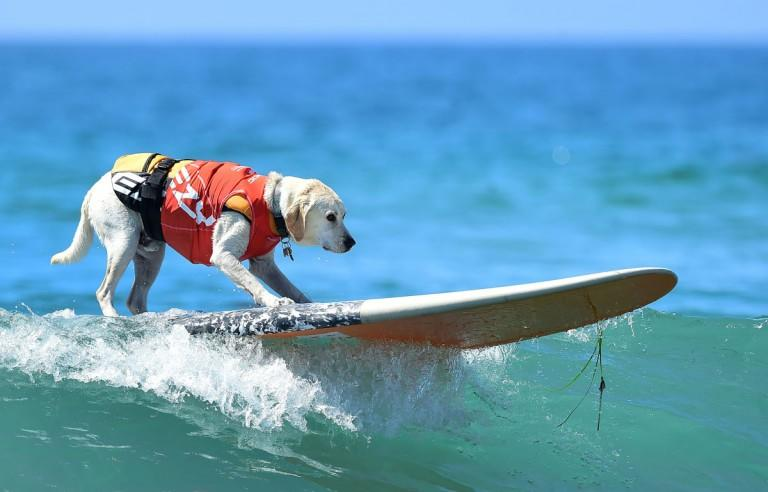 Dogs, big and small, and some in tandem or with their owner, participate in the 7th annual Surf City Surf Dog contest in Huntington Beach, California on September 27, 2015. AFP PHOTO / FREDERIC J. BROWNFREDERIC J. BROWN/AFP/Getty Images ORG XMIT: