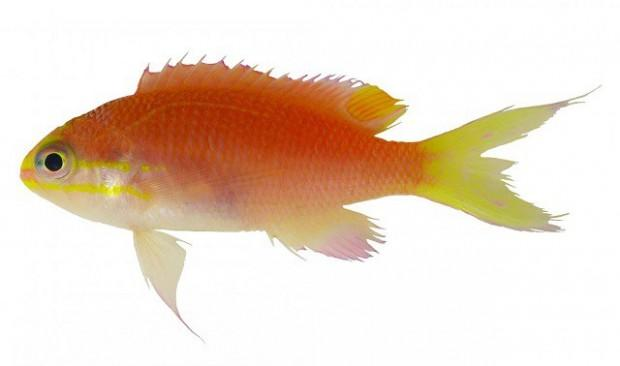 Adult-Fish-of-the-New-Species-