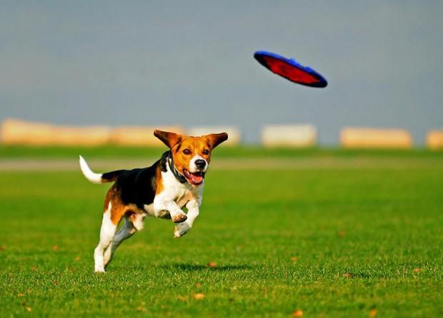 Dog-frisbi