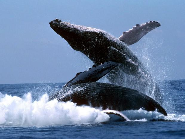 las-ballenas-jorobadas-regresan-nuevamente-a-las-aguas-dominicanas