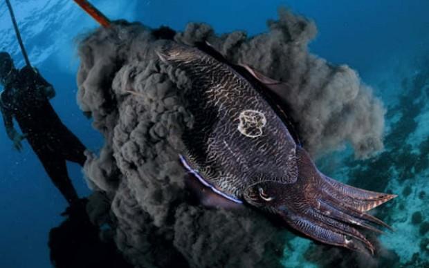 Дабы отпугнуть какого-то хищника огромный кальмар выпускает черные чернила