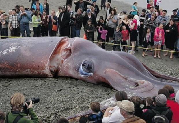 Картинки по запросу Гигантский кальмар
