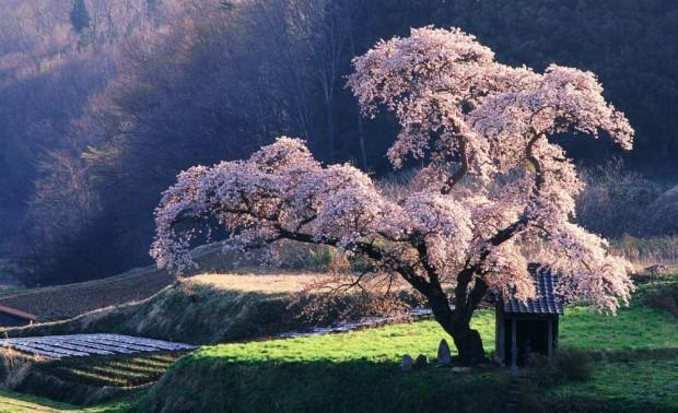 4391155-R3L8T8D-1000-spring_in_japan-wallpaper-1920x1200