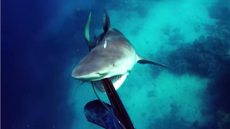 акула_снова
