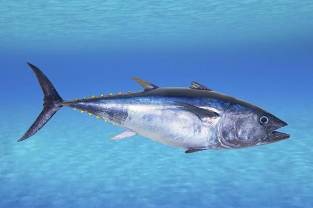 bluefin-tuna-2_custom-808feafef2fcb638e46945e81c26827fd39a25d9-s900-c85