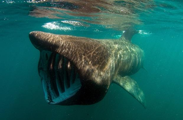basking shark feeding in surface waters