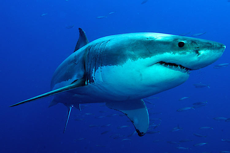 борисович эксперт картинки про больших акул они